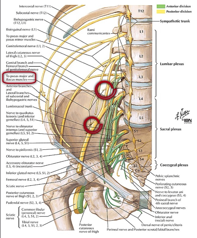 lumbosacral plexus with femoral nerve - the pain source, Muscles