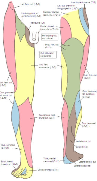saphenous nerve - The Pain Source