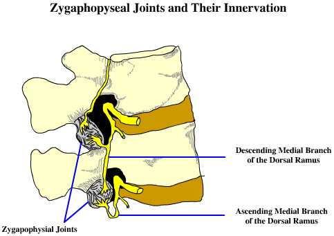 Innervation of Lumbar Facet Joints - The Pain Source - Makes ...