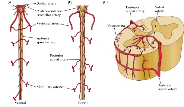 Vascular supply of the Spinal Cord | Human Anatomy